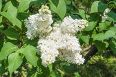 White lilac3 — Stock Photo