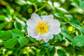 Wild rose4 — Stock Photo