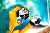 Pair of macaw parrots in the wild — Stock Photo