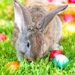 Little grey bunny or rabbit playing in the meadow — Stock Photo #32153757