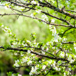 Apple flower tree with green, spring background — Stock Photo