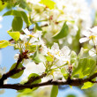 Close-up of beautiful white spring flower — Stock Photo