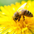 Close-up of a Honey bee collecting pollen from a yellow flower — Stock Photo