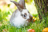 Easter bunny eating grass between colorful eggs — Stock Photo