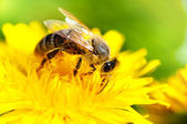 Close-up of honey bee working in a yellow summer flower, macro — Stock Photo
