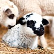 Stock Photo: Close-up of young little lamb smiling and sleeping