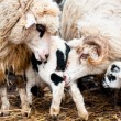 Stock Photo: Sheep in herd eating and teaching lambs to survive