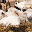 Little young lambs smiling at camera and sleeping — Stock Photo