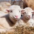 Young lambs smiling and looking at camera while eating and sleep — Stock Photo