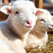 Young lambs smiling and looking at camera while sleeping — Stock Photo