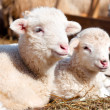 Stock Photo: Lambs resting and sleeping with herd at rural farm