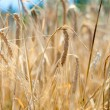 Closeup of yellow wheat grain ready to harvest in the field — ストック写真