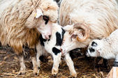 Sheep in the herd eating and teaching the lambs to survive — Stock Photo