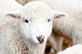 Curious Young lamb staring at camera, smiling — Stock Photo