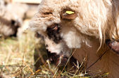 Female sheep eating in byre with the flock — Stock Photo