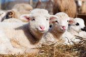 Corderos joven sonriendo y mirando a cámara mientras que comer y dormir — Foto de Stock