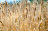 Closeup of yellow wheat grain ready to harvest in the field — Stok fotoğraf