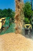 Grain harvester combine discharging grain load — Stock Photo
