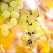 Yellow grapes from vineyard at sunset in autumn harvest season — Stok fotoğraf