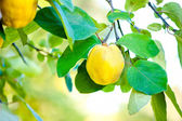 Fresh, bio, sweet and healthy quinces on tree at local farm, wit — Stock Photo