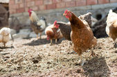 Stand-alone red, farm chicken looking towards camera, while other chickens and a rooster eat in background — Foto Stock