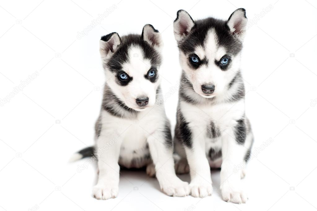 Facebook Husky Puppies Very Young Husky Puppies on