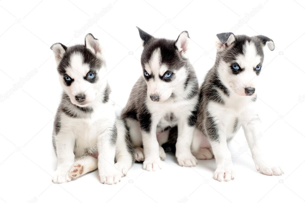 Facebook Husky Puppies Husky Puppies Isolated on