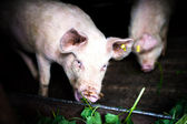 Two pigs eating grass at local farm in the countryside — Stock Photo