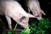 Two farm piglets eating grass in the countryside — Stock Photo