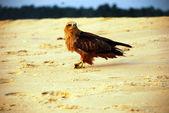 Falcon op het strand — Stockfoto