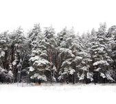 Padrão de árvore perene — Foto Stock