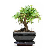 Bonsai tree on white background — Stock Photo