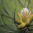 Fur needles and cones ; natural background — Stock Photo #8707986