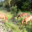 Horses grazing in the field — Stock Video