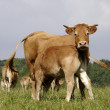 Cow with calf - Stock Photo