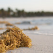 Yellow seaweed — Foto de stock #12589352