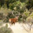 Stock Photo: Red deer in New Zealand