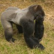 Stock Photo: silverback gorilla