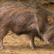 Close-up of a peccary/javelina - Stock Photo