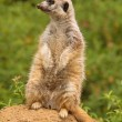 Stock Photo: Meerkat on lookout for predators