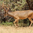Stock Photo: Close-up of CaliforniBlack-tailed buck strolling