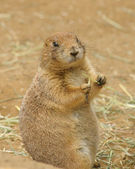 American Black-tailed prarie dog — Stock Photo