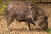Close-up of a peccary/javelina — Stock Photo