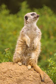 Meerkat on the lookout for predators — Stock Photo