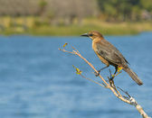 Female Grackle at waters edge — Stock Photo