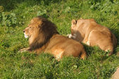 Lions resting after a meal — Stock Photo