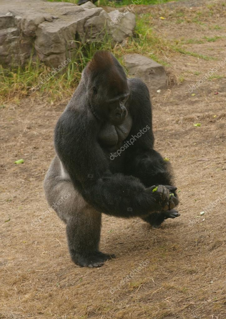 Closeup of a Silverback gorilla from above — Stock Photo #13123815