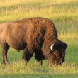 North American Bison — Stock Photo