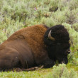 Stock Photo: Iconic North AmericBuffalo