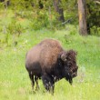 North American Buffalo — Stock Photo